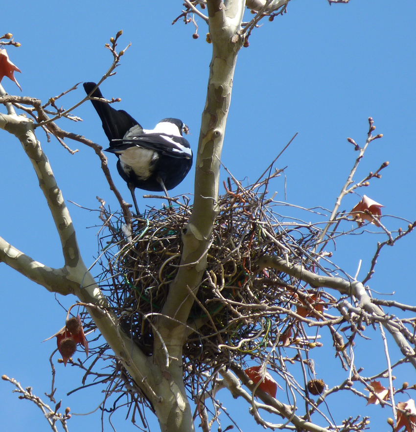 Adult magpie arriving at nest