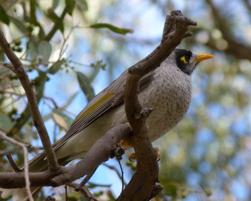 miner bird5