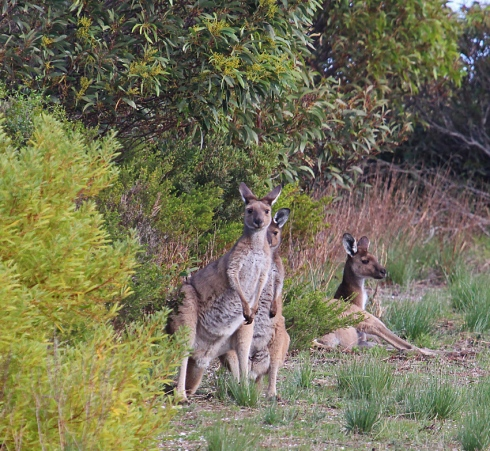 1 Western grey kangaroos resting on the edge of the scrub