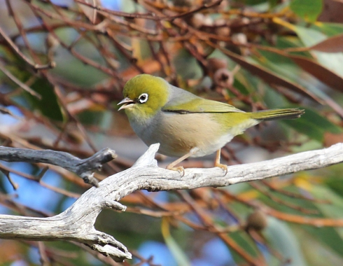 2 Silvereye singing in eucalyptus tree
