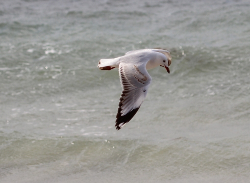 5 silver gull in flight