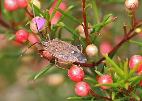 Common gum tree shield bug on Geraldton wax bush