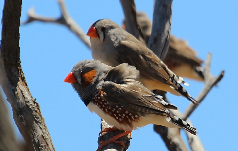 male and female zebra finches