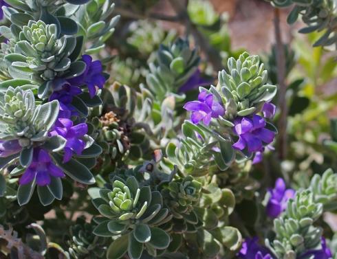 Purple eremophila