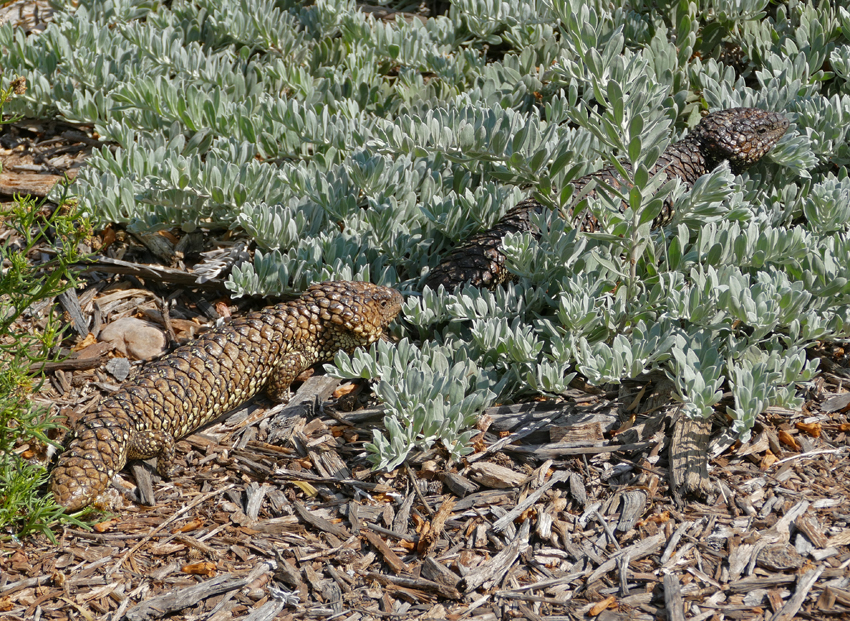 Shingleback or sleepy lizards