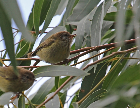 1a thornbill species probably yellow rumped