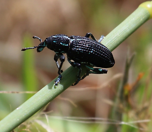 5 diamond weevil