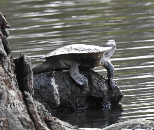 1d-red-2-macqurie-short-necked-turtle